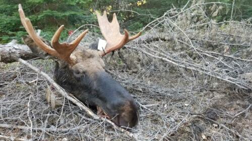 Camachigama-Moose1