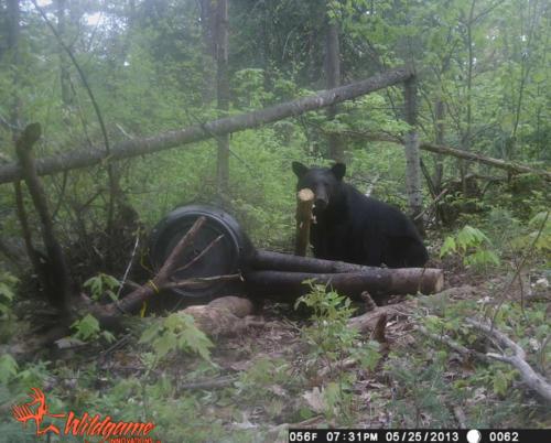 quebecdbear_hunting20